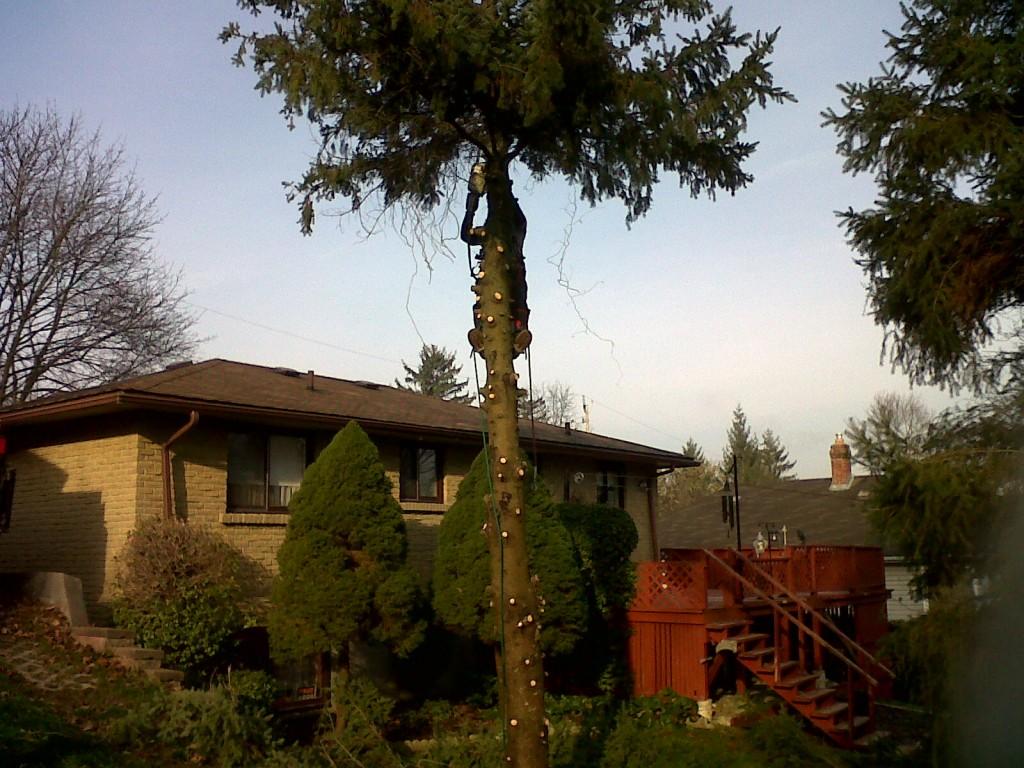 Tree / Tree limb removal